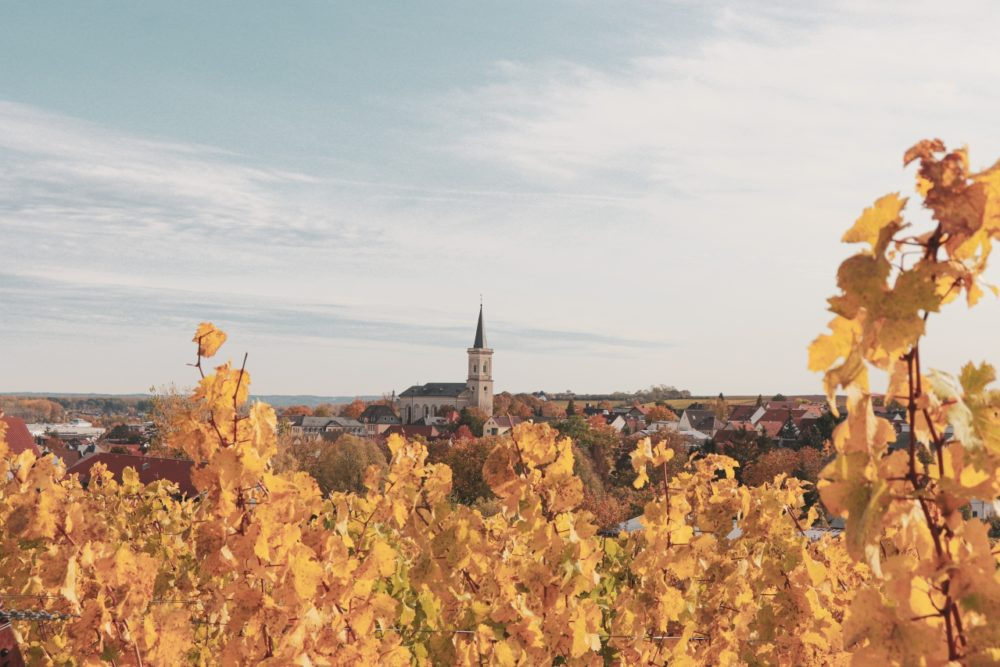 Goldene Reben auf dem RheinTerrassenWeg im Herbst